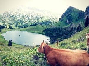 Kühe beim Seebergsee im Diemtigtal